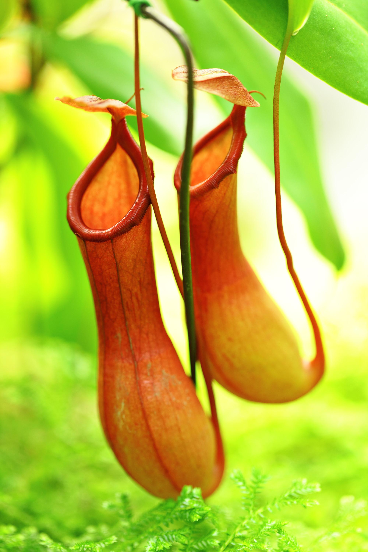 Carnivorous plants pitcher plant - photo#11